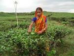 Чай, индийский способ заварки чая