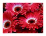 Фэн-шуй, красные цветы